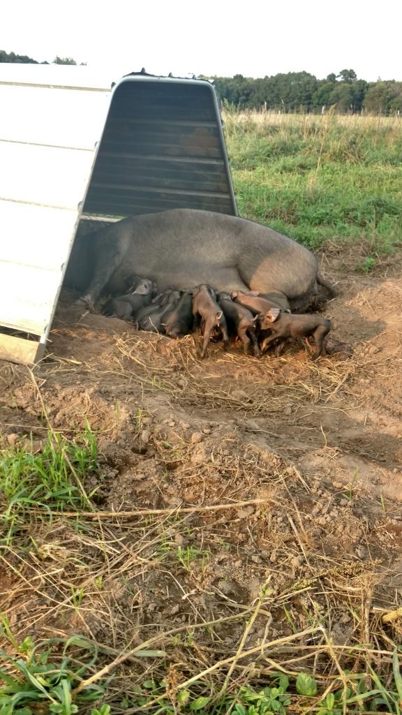 2016 first piglets